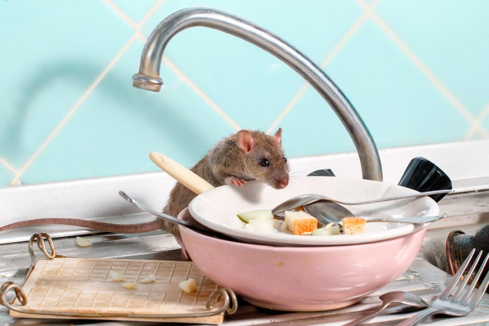 ratones en el fregadero